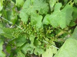 Baby grapes!